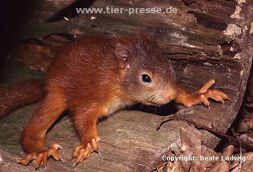 Junges Eichh�rnchen / Young Red squirrel