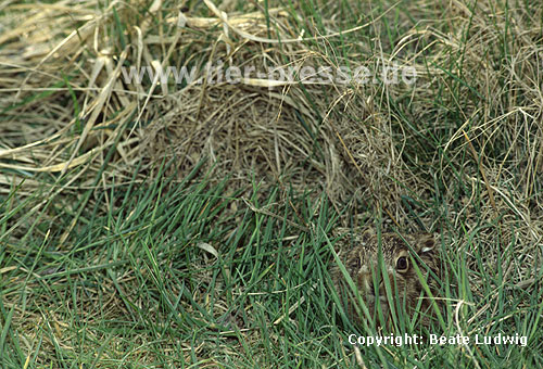 Europ�ischer Feldhase, wenige Tage altes Jungtier / European hare, a few days old