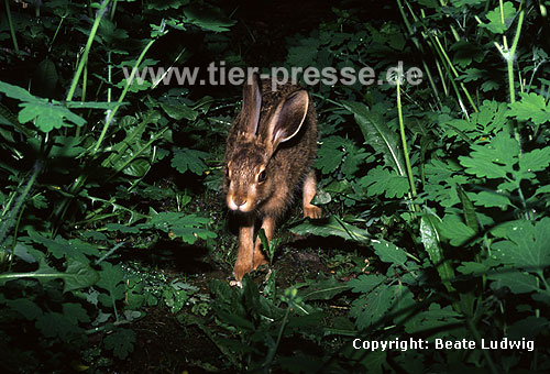 Europ�ischer Feldhase / Brown hare, European hare