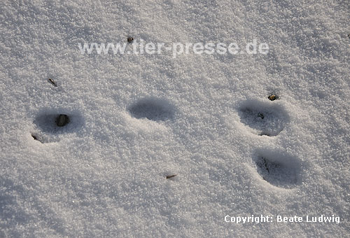 Europ�ischer Feldhase, Spur im Schnee / European hare, foot prints in the snow