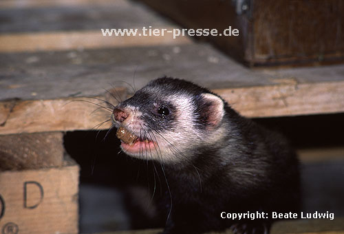 Iltisfrettchen transportiert Futter / Sable ferret carrying food