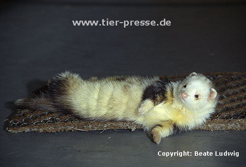 Pandafrettchen beim Duftmarkieren (K�rperreiben) / Panda ferret showing marking behaviour (rubbing)
