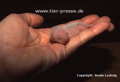 4-5 Tage altes Frettchen / 4 or 5 days old ferret