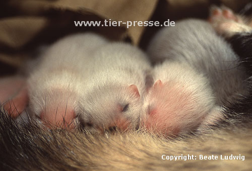 Mutter und Jungtiere / Mother and off-spring