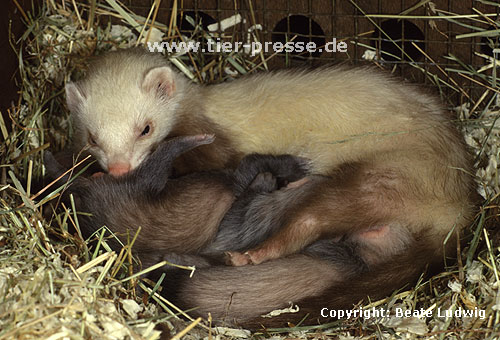 Mutter (Siamfrettchen) beleckt Jungtier / Mother (siamese ferret) licks cub