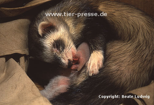 Mutter (Harlekinfrettchen) beleckt die Ano-genitalregion eines Jungtieres / Mother (mitted ferret) licks the ano-genital-region of a cub