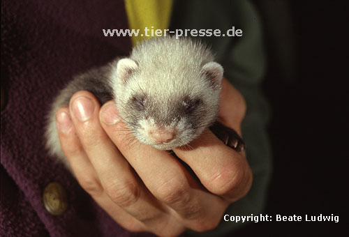 Vier Wochen altes Itisfrettchen / Young sable ferret, four weeks old