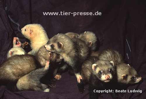 Sechs Wochen alte Frettchen (Iltis, Harlekin, Badger, Panda, Silber) / Young ferrets, 6 weeks old (sable, mitted, badger, panda, silver)