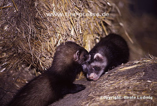 Mutter und Jungtier (Iltisfrettchen) / Mother and cub (sable ferret)