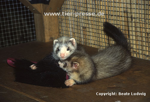 Spielende Jungtiere (Harlekin und Badger) / Playing cubs (mitted and badger)