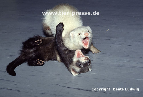 Spielende Jungtiere (Iltis- und Siamfrettchen) mit Spielgesicht / Playing cubs (sable and siamese) showing open-mouth play-face
