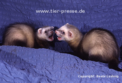 Spielende Jungtiere (Iltisfrettchen) mit Spielgesicht / Playing cubs (sable) showing open-mouth play-face
