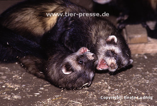 Spielende Iltisfrettchen mit Spielgesicht / Playing sable ferrets showing open-mouth play-face