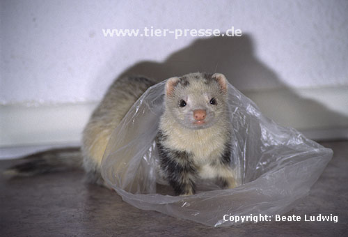 Pandafrettchen spielt mit Plastikt�te / Panda ferret playing with a plastic-bag