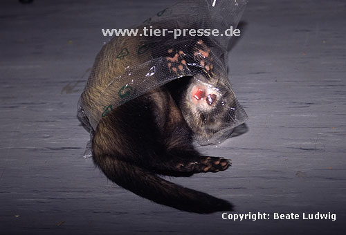 Iltisfrettchen spielt mit Plastikt�te / Sable ferret playing with a plastic-bag