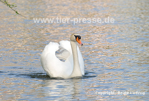 H�ckerschwan, imponierend / Mute swan, display behaviour / Cygnus olor