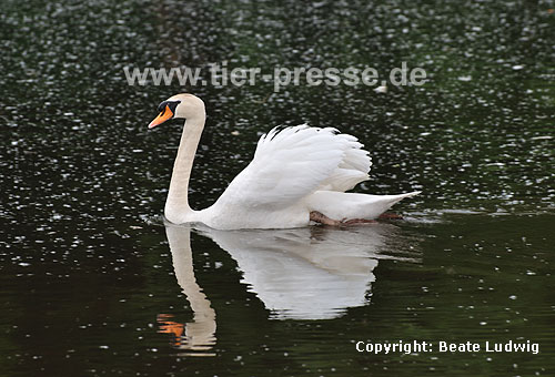 H�ckerschwan in Imponierhaltung / Mute swan, display behaviour / Cygnus olor