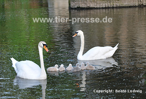H�ckerschwan, Eltern mit K�ken / Mute swan, parents with chicken / Cygnus olor
