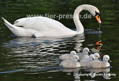 H�ckerschwan, Mutter mit Jungen / Mute swan, mother and young / Cygnus olor