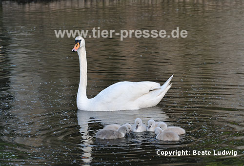 H�ckerschwan, Mutter mit Nachwuchs / Mute swan, mother and offspring / Cygnus olor
