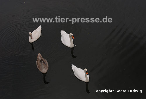 H�ckerschwan, Paar mit zwei Jungv�geln / Mute swan, pair with two young ones / Cygnus olor