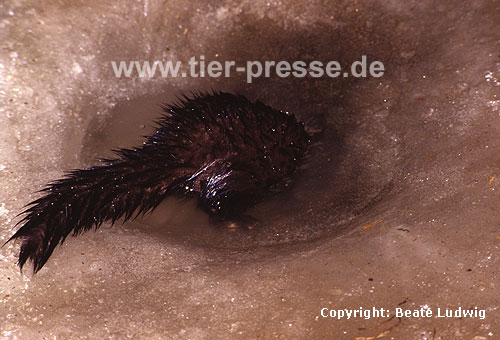 Amerikanischer Nerz, Mink, beim Abtauchen in einem Eisloch / American mink, diving through a hole under the ice