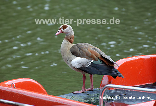 Nilgans auf Boot / Egyptian goose staying on a boat / Alopochen aegyptiacus