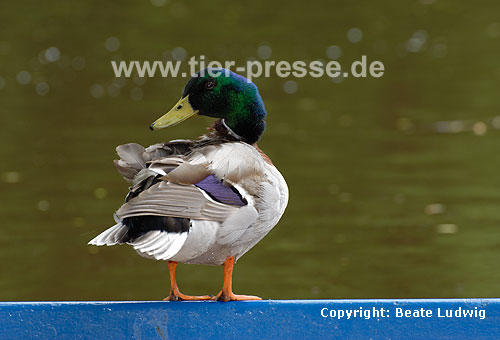 Stockente, Erpel auf Boot / Northern mallard, drake on a boat / Anas platyrhynchos