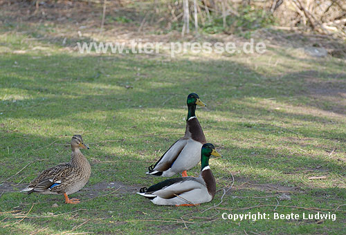 Stockenten, sichernd / Northern mallards, vigilance behaviour / Anas platyrhynchos