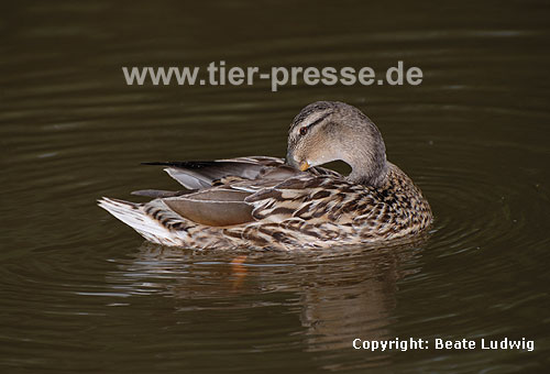 Stockente, Putzverhalten / Northern mallard, cleaning-behaviour / Anas platyrhynchos