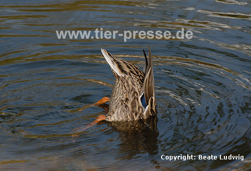 Stockente gr�ndelt / Northern mallard, searching food / Anas platyrhynchos