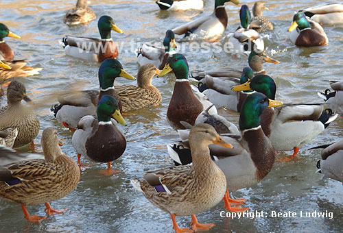 Stockenten-Gruppe im Winter / Northern mallard, group, winter / Anas platyrhynchos
