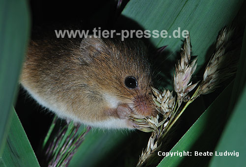 Zwergmaus frisst / Harvest mouse eating / Micromys minutus