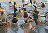 Stockenten Gruppe auf Eis / Northern mallard, group, winter / Anas platyrhynchos